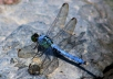 I will send you 50 high resolution (1 MB and up) full color images of dragonflies and damselflies.