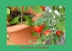 teach you how to grow tomatoes on a balcony, terrace or in the house