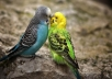give you ideas about making lovebirds nest